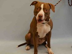 TAZ - A1051047 - - Manhattan  TO BE DESTROYED 09/15/15 Oh Taz baby, what are we going to do with you? Taz is only 1-year and 6-months old and he weighs a wholesome 61-pounds. Taz was somewhat agreeable when he got to the shelter beside his master, back when he thought they were just visiting. When Taz previous owner left him at the shelter, a wave of anxiety and depressions flowed over Taz. Taz has become unmanageable and the shelter recommends that he be captured via pole