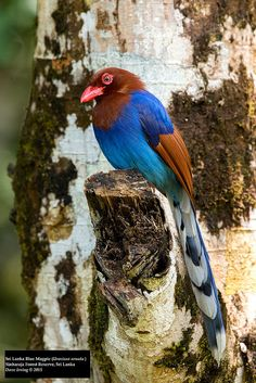 Sri Lanka Blue Magpie (Urocissa ornata) | Flickr - Photo Sharing!