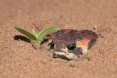 Frog Discover 20 Rain Frogs That Have Had It With This Week Whatever happened this week youre probably handling it better than these rain frogs. Cute Reptiles, Reptiles And Amphibians, Frog Pictures, Cute Pictures, Baby Animals, Cute Animals, Wild Animals, Pet Frogs, Funny Frogs