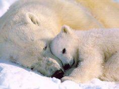 Bébé ours polaire et sa maman