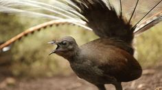 Photo of a lyrebird singing. Sing, Sing, Sing Ask any teen heartthrob: The girls go nuts over good-looking singers, and the superb lyrebird is the Elvis of the feathered set. Kangaroo Island, Nature Music, Call Of The Wild, Australian Birds, All Birds, Exotic Birds, Natural World, The Guardian, Habitats