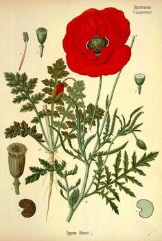 1883; v.3 - Köhler's Medizinal-Pflanzen in naturgetreuen Abbildungen mit kurz erläuterndem Texte : - Biodiversity Heritage Library                                                                                                                                                      Mehr