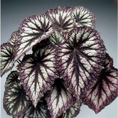 Begonia 'Fireworks' (Begonia rex hybrid) - Rex Begonias - Begonias