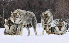 Image result for winter wolf