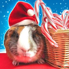 Little Badger the Guinea Pig, next to some festive Candy Canes!
