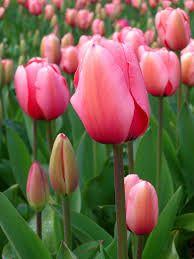 Risultati immagini per tulipano