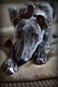 Galgos #lurchers