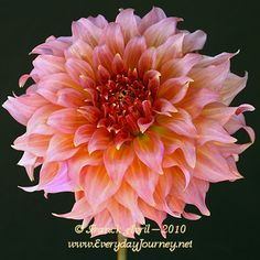 SUMMER RAIN, 7 inch blooms, coming 2015 from Aztec Dahlias