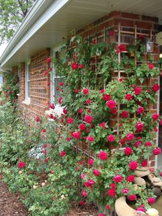 """What's your favorite hardy climber?QUADRA  (Climbing Rose) Another rosarian recommendation from my friend Mark Disero who describes it as an """"indestructible climber"""" that will bloom for anyone and is super hardy. This beauty is from Canada's Explorer Rose program. Zone 3."""