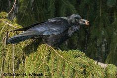 <p>Kolkrabe 01 </p> <p>Rabenkrähe_Corvus corone_Carrion Crow_2012_02_29_79_01_00_008</p>