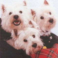 Westies want to win a portrait! come to hanging the moon on facebook to vote with a like!