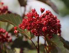 Dunkelrote Blasenspiere 'Diabolo' ® - Physocarpus opulifolius 'Diabolo' ® - Baumschule Horstmann Dark Red, Roots, Plants