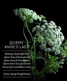 Flower Glossary: Queen Anne's Lace - Design*Sponge