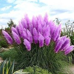 New Rare Purple Pampas Grass Seeds Ornamental Plant Flowers Cortaderia Selloana Grass Seeds 500 Pieces / Lot