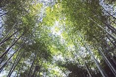 Kyoto Bamboo Forest :: Rachael White Photos Etsy Shop