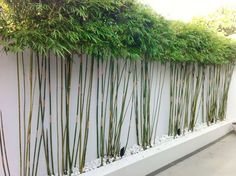 Planting for privacy - another unique idea for a living bamboo screen. White wall could be painted any colour to highlight the varigated trunks