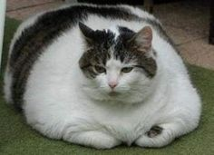 my grandpa had a cat this size-he said he fed him kibble & bits (must've been a whole lotta bits & no kibble)