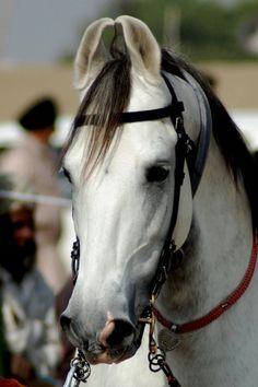Marwari horse.