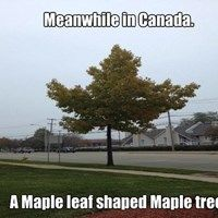 Meanwhile in Canada - Maple leaf shaped maple tree - Memes Comix Funny Pix Canada Jokes, Canada Funny, Canada Eh, Canadian Memes, Canadian Things, Canadian Army, Canadian Maple, Les Memes, Funny Memes