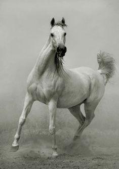 Arabians Horse