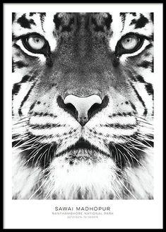 Poster mit schwarz-weißem Tiger, das ausgezeichnet in einen Bilderrahmen oder in eine Bilderwand passt. Wenn Sie weitere Fotografien mit wilden Tieren suchen, finden Sie diese in unserer Kategorie mit Insekten und Tieren oder der Fotografie-Kategorie. www.desenio.de
