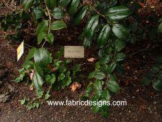 Natural dye plant- Camellia!