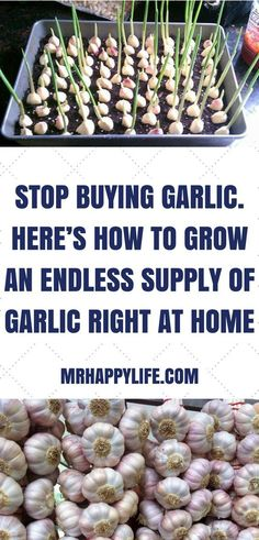 Garlic is arguably one of the world's most versatile and healthiest foods. While you can use garlic to add some serious flavor to any dish, garlic also has quite the long list of health benefits as well. #gardenplanters
