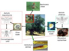 """Can climate change influence olive pests and diseases? """"Specifically, the model enables the examination of climate change on the range of olive and olive fly. The effect of climate change on natural enemies are illustrated using the olive scale/parasitoid interactions. The same system can also be used to examine the distribution and abundance of diseases. No model is complete, and required improvements can serve as a basis for interdisciplinary regional IPM research."""""""