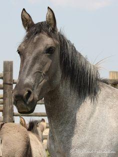 Raulita (BLM name Jicarilla): pregnant silver roan (Bacardi x Baja) - Plenty Coups granddaughter. Clouds Band, Horse Adoption, Wild Horses, Bacardi, Animals, Silver, Friends, Amigos, Animales