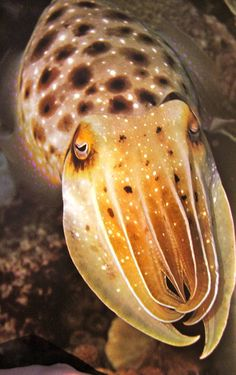 cuttlefish - whenever I see pics of cuttlefish, I think of Jack Sparrow in POTC 3.