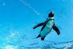 Did you know? A penguin's feather pattern is a form of camouflage called countershading - from above, its black back blends into the depths of the ocean, and from below, its white belly is hidden against the bright surface! Help raise awareness and aim to bring international focus on the conservation of penguin habitats 🐧