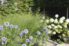 The spheres of the hydrangeas are repeated in the blue of the echinops while the grasses (Miscanthus sinensis 'Gracillimus') contrast the form.