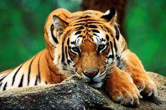 Tigre junto con el león, es la especie más conocida de grandes felinos en el mundo. Sin embargo, a pesar del respeto, la admiración y el temor que inspira, está en peligro de desaparecer. De las 6 subespecies de tigres, hay algunas que están más en peligro que otras, pero el tigre como especie está en peligro por todas partes, en parte por la desaparición de su hábitat y por la caza indiscriminada por su piel.