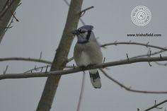 Blue Jay (Cyanocitta cristata) - Photo by Trisha - Female Blue Jay - http://www.minnesotaseasons.com/Birds/Blue_Jay.html
