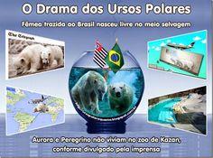 Mural Animal: O Drama dos Ursos Polares–Fêmea trazida ao Brasil nasceu livre no meio selvagem