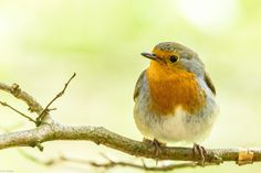 Robin take on the Middlebrook Valley Trail, Bolton. European Robin, Trail, Birds, Nature, Animals, Naturaleza, Animales, Animaux, Robin