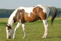 Most Beautiful Horses, All The Pretty Horses, Animals Beautiful, American Paint Horse, American Quarter Horse, Quarter Horses, Horse Photos, Horse Pictures, Caballo Tobiano