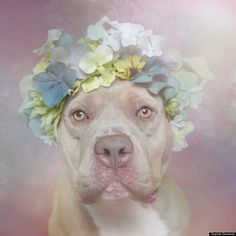 This is Sweetheart, who is available for adoption through Second Chance Rescue. Click to see all the BEAUTIFUL pitties available.
