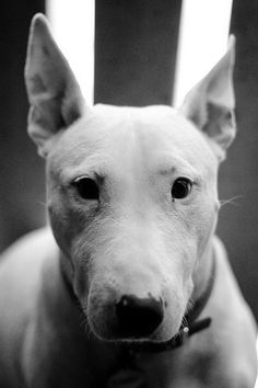 bull terrier, i want this breed