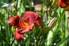 Hemerocallis 'Orange City' | Reading and weeding on a rain-soaked Monday - Red Dirt Ramblings®