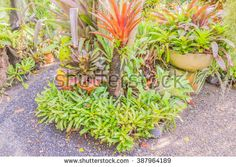 Bromeliad colored pine apple in garden in garden, Thailand - stock photo
