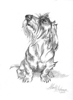 Fine Art America: Young Wire-haired Dachshund Looking Up Drawing by Alena Nikifarava
