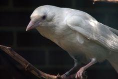 White Raven by OwletStock.deviantart.com