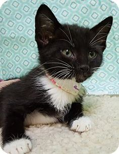Prattville, AL - Domestic Shorthair. Meet Mona 24781, a kitten for adoption. http://www.adoptapet.com/pet/15841518-prattville-alabama-kitten