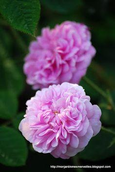 ~Heritage rose 'Petite Lisette'
