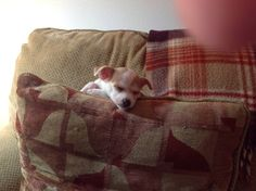 Chihuahua's are so entertaining & cute! Her ears stand up now to,