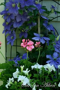 Trellis of blue clematis - gorgeous - Not sure if these grow in Colorado, but love!