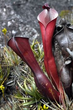Heliamphora elongata- can only be found at Ilu or Tramen tepui, Venezuela