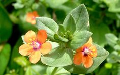 Anagallis arvensis / Roter Gauchheil, Wetterpflanze & Stimmungsaufheller