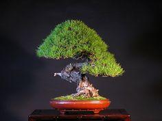Artist: Mario Komsta Japanese Red Pine (Pinus densiflora) Height: 46 cm Pot: Antique Chinese 'Koseiken'